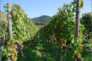 Баден-Баден отбирает славу у винодельческих регионов Франции и Италии