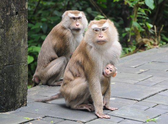 Для туристов на Пхукете выпустили правила общения с обезьянами