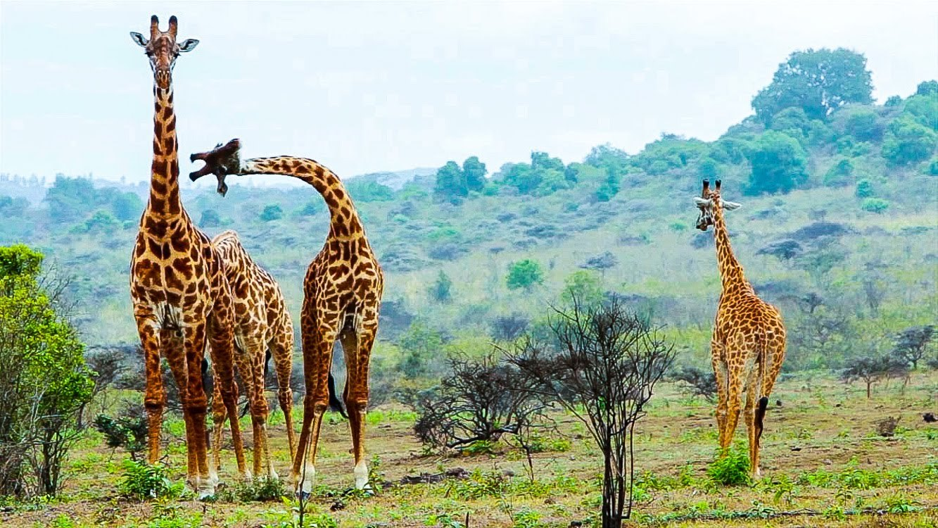 Сафари в Танзании